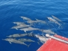 Dolphins-cruise
